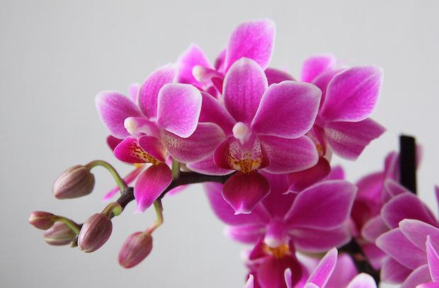 Perhoskämmekkä palkitsee hoitajansa kauniilla kukilla (Kuva: Maja Dumat CC BY 2.0)